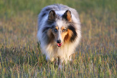 Sheltie Stockfoto