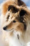 Sheltie Royalty Free Stock Image
