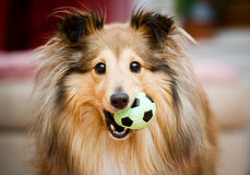Sheltie Fotografia Stock