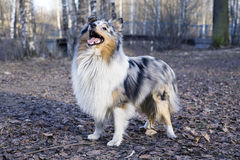 Sheltie Stock Photos