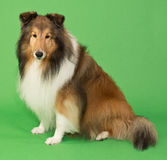 Sheltie Stock Images