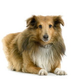 Sheltie Stock Image