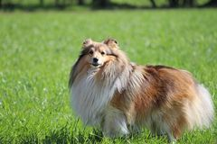 Sheltie Obraz Royalty Free