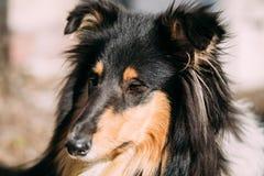 幼小设德蓝群岛牧羊犬, Sheltie,大牧羊犬狗 免版税库存图片