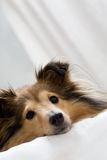Sheltie Royalty Free Stock Images