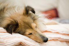 Sheltie Royalty Free Stock Photography