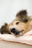 Sheltie Royalty Free Stock Photo