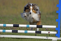 Sheltie at Agility trial. Shetland Sheepdog jumping over bar obstacle on Agility trial Royalty Free Stock Images