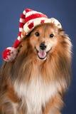 Sheltie avec le chapeau drôle Photographie stock libre de droits