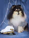 Sheltie in captain suit Royalty Free Stock Photo