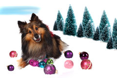 Sheltie Christmas dog in snow. Sheltie snow christmas with decorating balls  and pine trees in the background Royalty Free Stock Photo