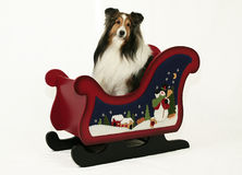 Sheltie & Christmas Sleigh Royalty Free Stock Image