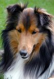 Shetland Sheepdog closeup. Closeup of shaded mahogany sable sheepdog looking down with an alert expression on his face isolated against a blurred background of Royalty Free Stock Photography