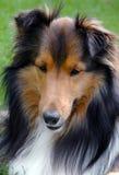 Shetland Sheepdog closeup royalty free stock photography