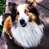 Sheltie-Collie Lizenzfreies Stockbild