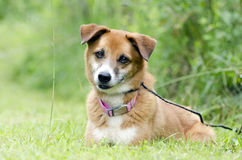 Sheltie Collie Spaniel mixed breed dog laying in grass. Tan and white female Sheltie Collie Spaniel mixed breed dog with pink collar. Humane Society animal Stock Image