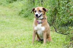 Sheltie Collie Spaniel mixed breed dog sitting in grass. Tan and white female Sheltie Collie Spaniel mixed breed dog with pink collar. Humane Society animal Stock Photo