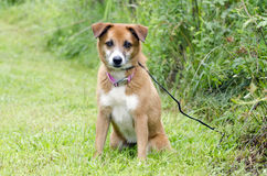 Sheltie Collie Spaniel mixed breed dog sitting in grass Royalty Free Stock Image