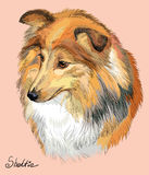 Sheltie colorful vector hand drawing portrait Stock Photography