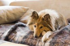 Sheltie, das auf Sofa liegt Lizenzfreie Stockfotos