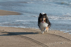 Sheltie, das den Strand genießt Stockbild
