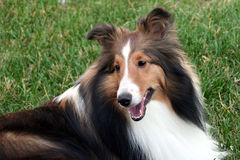 Sheltie de sourire Photographie stock