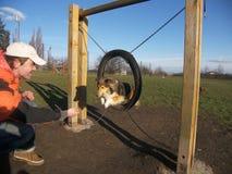 Sheltie do cão da agilidade Imagens de Stock Royalty Free