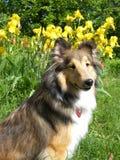 Sheltie dog. Lying on high lawn Royalty Free Stock Photo