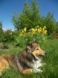 Sheltie dog. Lying on high lawn Stock Photos