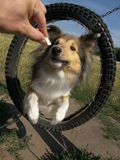 Sheltie dog agility. Sheltie dog in agility training, motion blur royalty free stock photography