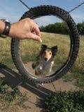Sheltie dog agility. Shletie dog in agility training Royalty Free Stock Photography