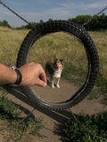 Sheltie dog agility. Shletie dog in agility training Royalty Free Stock Images