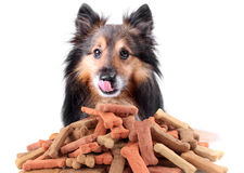Sheltie and dog biscuits stock photography