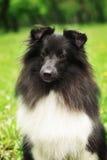 Sheltie dog black and white Stock Image