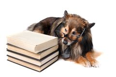 Sheltie dog with books Stock Image