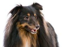 Sheltie dog breed. Beautiful Sheltie dog breed on a white background Royalty Free Stock Photos
