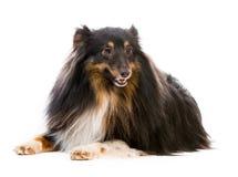 Sheltie dog breed Stock Images