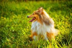 Sheltie dog Royalty Free Stock Photography