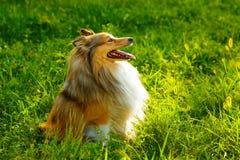 Sheltie dog Royalty Free Stock Photos