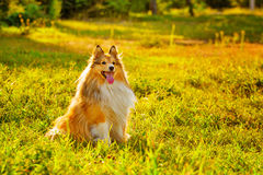 Sheltie dog Stock Photography
