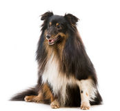 Sheltie dog breed Royalty Free Stock Photos