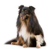 Sheltie dog breed. On a white background Royalty Free Stock Photos