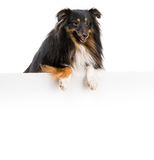 Sheltie dog breed. With a white board for writing and logo Stock Photography