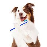 Sheltie Dog Brushing Teeth Royalty Free Stock Image