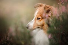 Sheltie dog in the field. Sheltie dog in a field of tall grass in the fall Stock Photography
