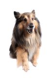 Sheltie dog giving paw Royalty Free Stock Image