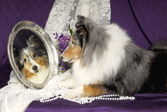 Sheltie dog looking in a mirror Stock Photos