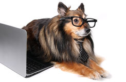 Sheltie dog at the office Stock Images