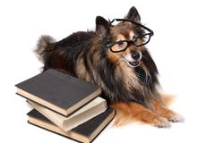 Sheltie dog at the office Royalty Free Stock Images