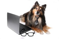Sheltie dog at the office Stock Photos